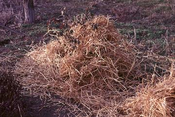 Rose mulched with straw