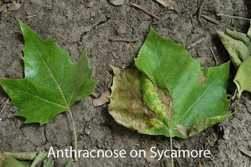Anthracnose on Sycamore leaf
