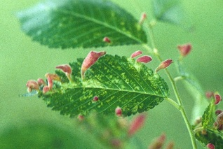 Elm pocket gall