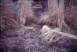 cutting down ornamental grasses