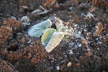 frost on vegetable seedling