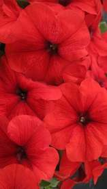Petunia Trilogy Red