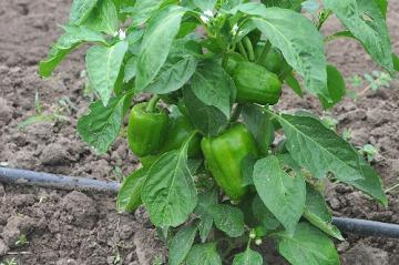 green bell pepper plant