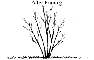 shrub after pruning