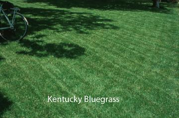 Kentucky Bluegrass lawn