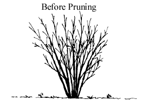 shrub before pruning