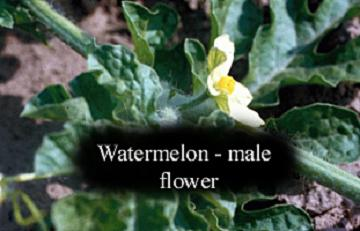 watermelon male flower