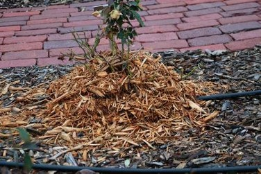 rose with mounded mulch