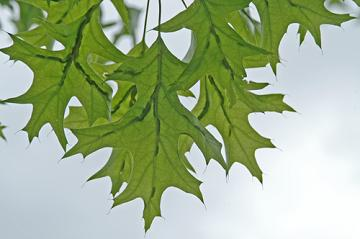 oak leaf marginal gall