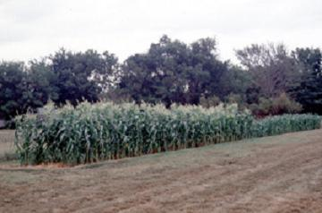 sweet corn staggered planting