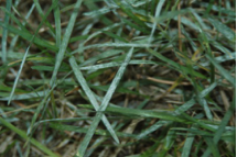 powdery mildew on turf