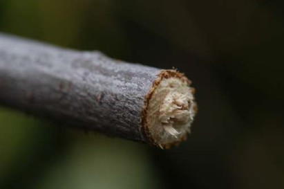 Girdled twig