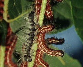 walnut caterpillars