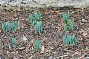 spring bulbs emerging