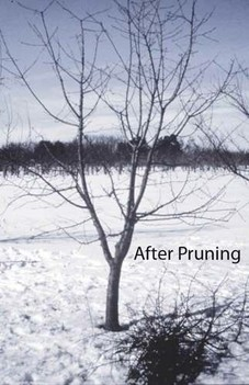 fruit tree after pruning