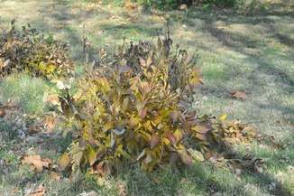 Peony plant in the fall