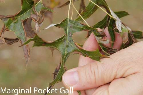 marginal pocket gall on oak leaf