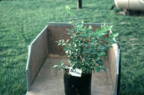 potted blueberry plant