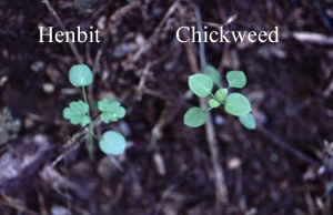 broadleaf weeds henbit and chickweed