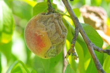 brown rot on stone fruit