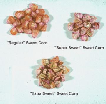 sweet corn seeds