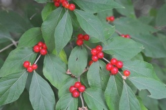 honeysuckle red berries