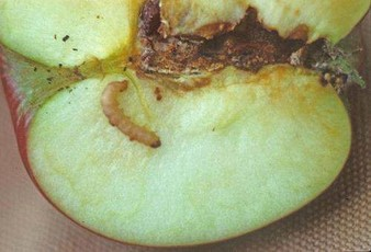 codling moth worm in apple